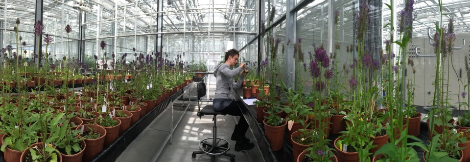 Populatieherstel van de Brabantse Zwartblauwe rapunzel