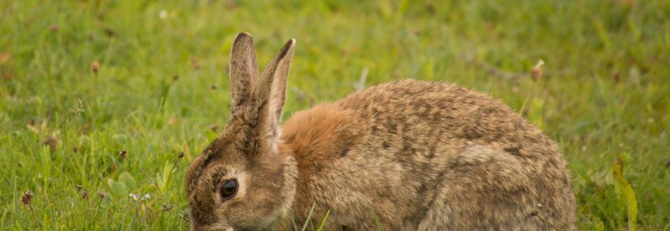 Herstel konijnenpopulaties in de kustduinen