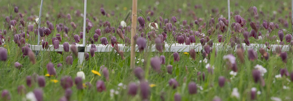 Meerjarig demografisch onderzoek van Kievitsbloemen in Overijssel